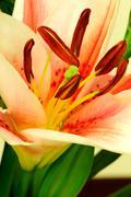 Stock Photo of lily flower macro
