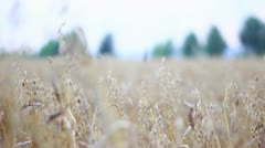 Stock Video Footage of Cornfield