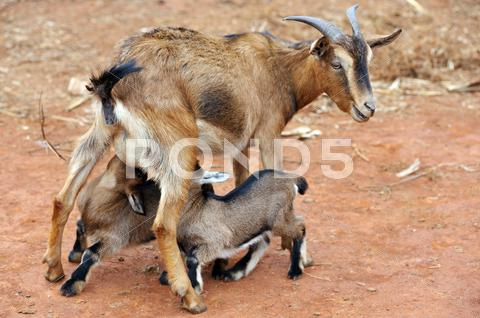 Stock photo of goats feeding