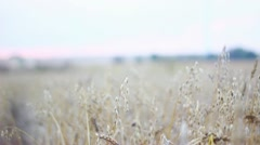 In The Cornfield Stock Footage