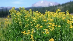 Lassen 08 Kings Creek Meadows Flowers Stock Footage