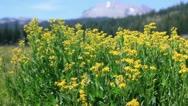 Lassen 08 Kings Creek Meadows Flowers Stock Footage