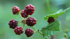 Blackberries Stock Footage