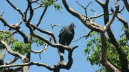 Stock Video Footage of Turkey vulture (Cathartes aura) in the Florida Everglades