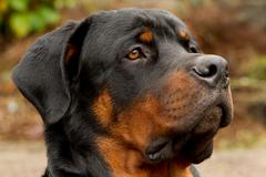 Profile Portrait Of An Adult Male Purebred Rottweiler Narrow Dof Focus On The - stock photo