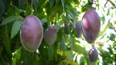 Mangoes in tree. Stock Footage