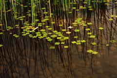 duckweed. - stock photo
