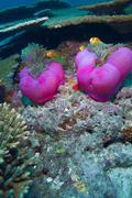 maldive anemonefish (amphiprion nigripes) in a sea anemone (hete - stock photo
