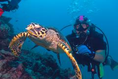 The hawksbill turtle (eretmochelys imbricata) swimming away from Stock Photos