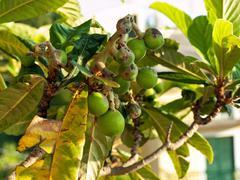 Fig tree close up Stock Photos