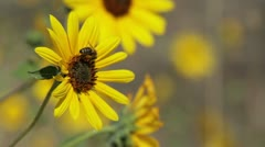 Bee on Yellow Wild Flower Stock Footage