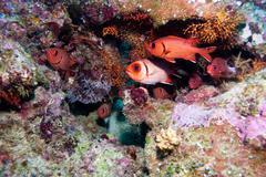 soldat fishes, ari-atoll. maldives - stock photo