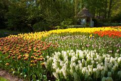 Tulips in keukenhof flower garden in lisse, netherlands Stock Photos