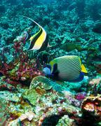 moorish idols ((zanclus cornutus)  and emperor angelfish (pomacanthus imperator) - stock photo