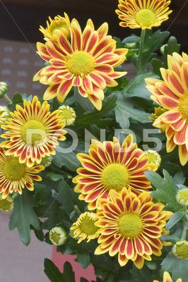 Stock photo of gazania