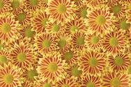 Stock Photo of flowering gazania