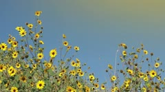 Yellow Wild Flowers Waving in Wind Stock Footage
