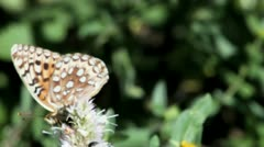 Fritillary Butterfly - stock footage