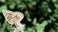 Stock Video Footage of Fritillary Butterfly