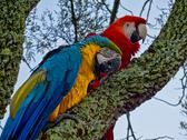 Couple of macaws on tree trunk Stock Photos
