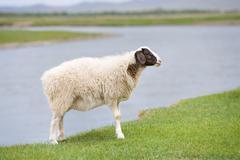 Solitary sheep Stock Photos