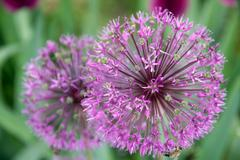 Onion flower decoration, latin. allium hollandicum Stock Photos