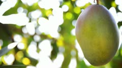 Mango fruit in tree 2. Stock Footage