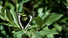Weidemeyer's Admiral Butterfly Stock Footage