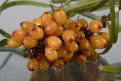Fruits of sea buckthorn, latin. hippophae Stock Photos