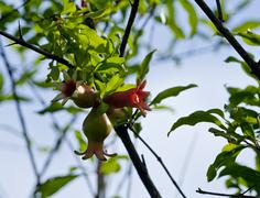 pomgranate - young fruit - stock photo