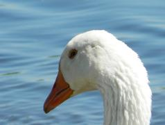 Portrait of a goose Stock Photos