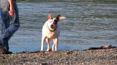 Excited Dog Fetches Stick Runs into Water Stock Footage