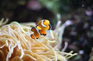 Stock Photo of Clown fish