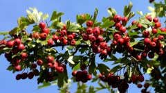 Hawthorn Stock Footage