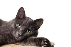 Lying russian blue cat Stock Photos