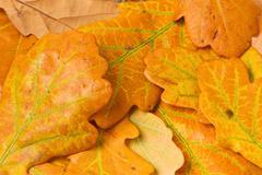 autumn oak leaves background - stock photo