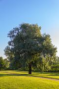 Single willow tree Stock Photos