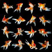 sixteen goldfishs - stock photo