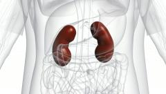 A body which is transparent apart from the kidneys. Stock Footage