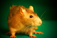 rat on a green background - stock photo