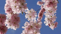 Flowering Cherry Blossom, close up. Stock Footage