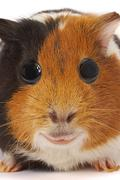 portrait of a guinea-pig. macro a photo. - stock photo