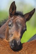 foal - stock photo