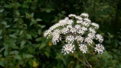 Elder flower (Sambucus nigra) Stock Footage