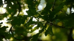A few oak leaves blowing about a little. Back lit. Blurred background. - stock footage