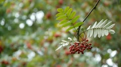 Rowan or Mountain Ash berries. Stock Footage