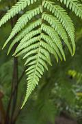 Stock Photo of fern study with one stem