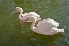 Stock Photo of two great white pelicans