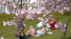 Flowering Cherry Blossom. People picnicking in the background. Stock Footage
