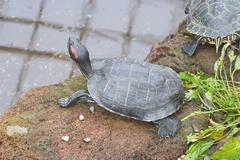 red eared slider - stock photo